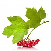 Berries of red Viburnum with leaves isolated on white