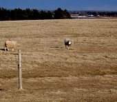 stock photo of open grazing area  - Sheep grazing in an open field of yellow grass during spring