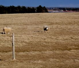 foto of open grazing area  - Sheep grazing in an open field of yellow grass during spring