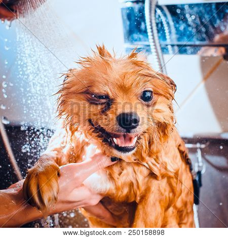 poster of Pomeranian Dog With Red Hair In The Bathroom In The Beauty Salon For Dogs. Toned Image. The Concept