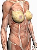 Anatomie einer Frau.
