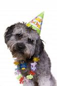 picture of parti poodle  - Cute dog in his birthday hat and lei - JPG