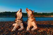 Couple Cute Dogs Howl Raising Their Muzzles Up. Beautiful Siberian Husky Howling Lying On Shingle Ri poster