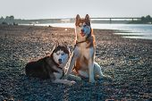 Beautiful Couple Siberian Husky Dogs Rest On Shore Against A Calm River In Warm Summer Evening. poster