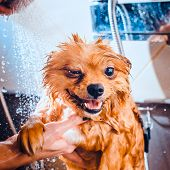 Pomeranian Dog With Red Hair In The Bathroom In The Beauty Salon For Dogs. Toned Image. The Concept  poster