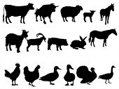 picture of black-cock  - Farm animals - JPG