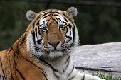 Tigre siberiano tranquilo