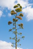 Agave Flower Spontaneous Flora Typical Of The Mediterranean Climate poster