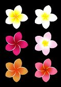 Colorful Frangipani flowers.