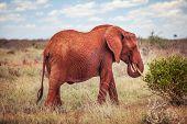 African Bush Elephant, (loxodonta Africana) Red From Dust Feeding On A Bush. Tsavo East National Par poster