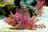 stock photo of unnatural  - Weedy Scorpionfish  - JPG