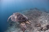 Green Turtle Over Damaged Reef