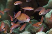 Redfin Anthias Schule