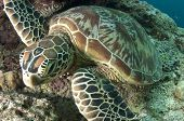 Green Turtle Close-up