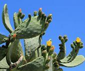 Cactus Nopal Flowers