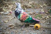 Painted Racing Pigeons