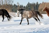 picture of shire horse  - Herd of running horses in the winter