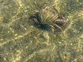 stock photo of crustations  - Crab crawling on the ocean floor at low tide - JPG