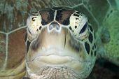 Green Turtle Headon