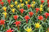 stock photo of tillandsia  - Yellow and red flowers guzmania beautiful green leaves - JPG