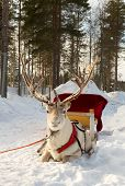 stock photo of deer head  - reindeer harnessed to a sled  head - JPG