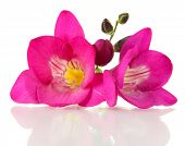 Pink freesia flower, isolated on white