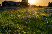 picture of bluebonnets  - Bluebonnets and Indian paintbrushes illuminated by sunset light in Texas - JPG