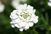 Candytuft (iberis Sempervirens)