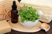 Ladies mantle herb leaf sprigs with aromatherapy essential oil bottle and spa accessories. Alchemilla.