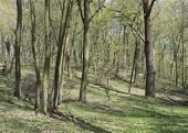 Oak-hornbeam Wood In Spring