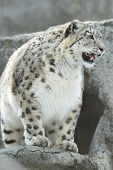 stock photo of panthera uncia  - Snow leopard  - JPG