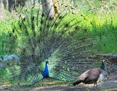 foto of peahen  - Peacock courting ritual - JPG