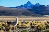 Lama in mountains , Bolivia