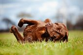 stock photo of chocolate lab  - labrador retriever dog rolling on the grass - JPG