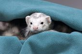 stock photo of ferrets  - A white ferret peeks out from a green cloth - JPG