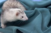 pic of ferrets  - A white ferret peeks out from a green cloth - JPG