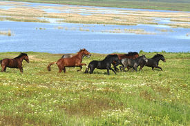 picture of wild horse running  - horses on the meadow  summer or spring landscape - JPG