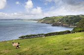 image of devonshire  - Sheep on the Devonshire coastline between Blackpool Sands and Slapton Sands - JPG