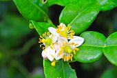 Flower Of Bergamot Fruits On Tree