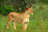 wilden afrikanischen Löwin