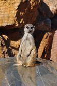 Funny Meerkat Animal