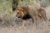 African Lion im Kruger-Nationalpark