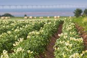 image of confederation  - Potatoes plants growing in a field in rural Prince Edward Island - JPG