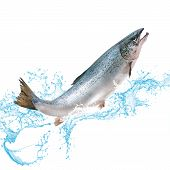 Salmon Fish Jumping Out Of Water