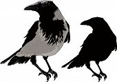 picture of raven  - Seated black raven image detail and silhouette isolated on white background - JPG