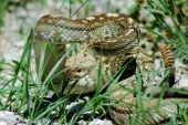stock photo of timber rattlesnake  - Shot of a timber rattlesnake taken in New Mexico - JPG