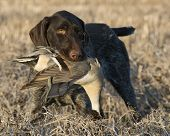 foto of pintail  - A hunting dog and a drake pintail - JPG