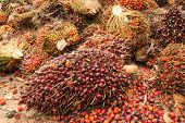 picture of biodiesel  - Bunch of oil palm seeds for production cooking oil or biodiesel oil - JPG