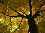 picture of maple tree  - autumn maple tree with dark branches - JPG