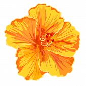 image of hibiscus  - Orange hibiscus simple  flowers tropics vector illustration - JPG
